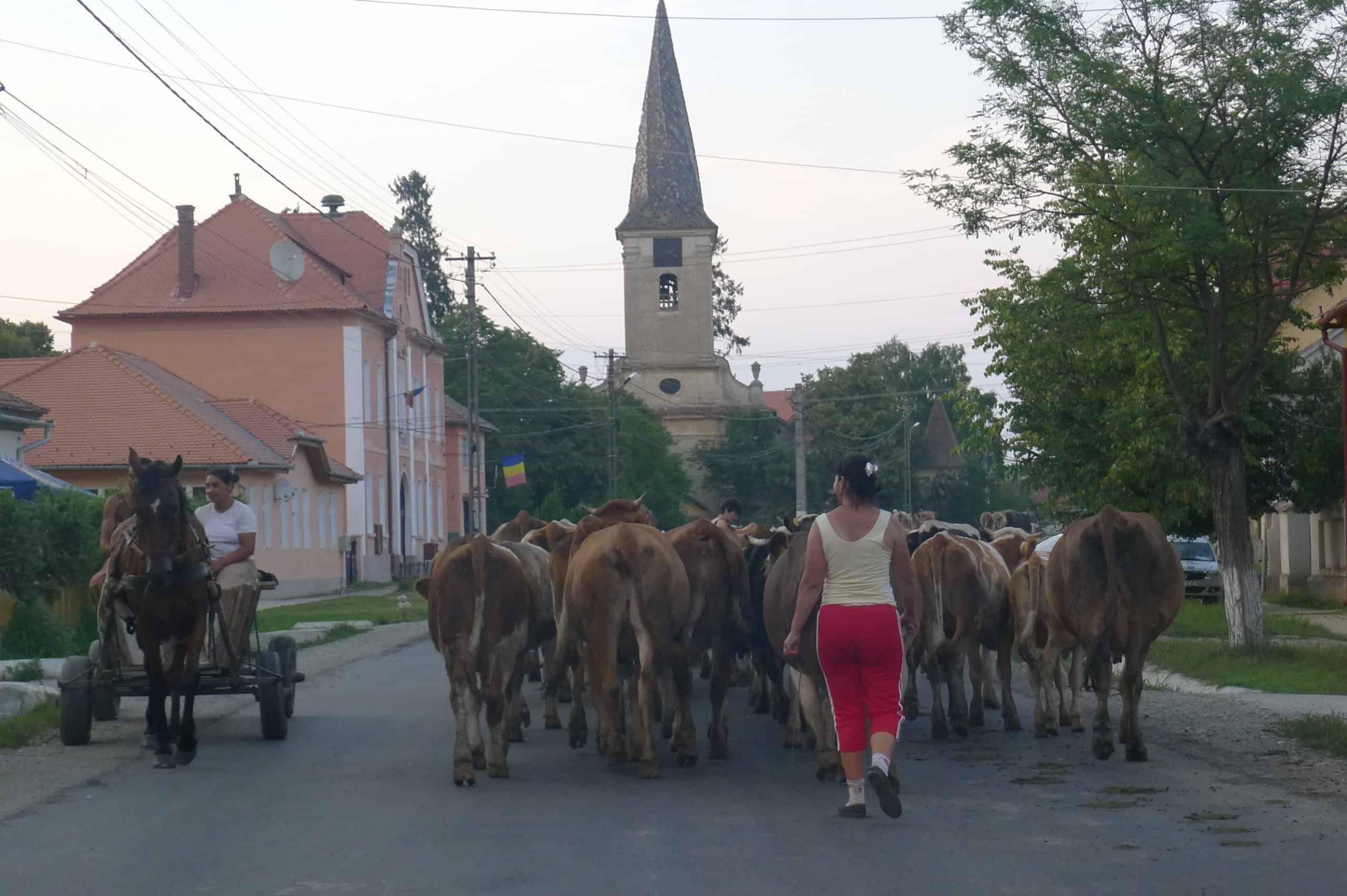 Krowy wracają do domu w Transylwanii