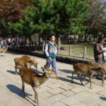 Turyści i jelenie Nara - niezwykłe miejsca Japonia