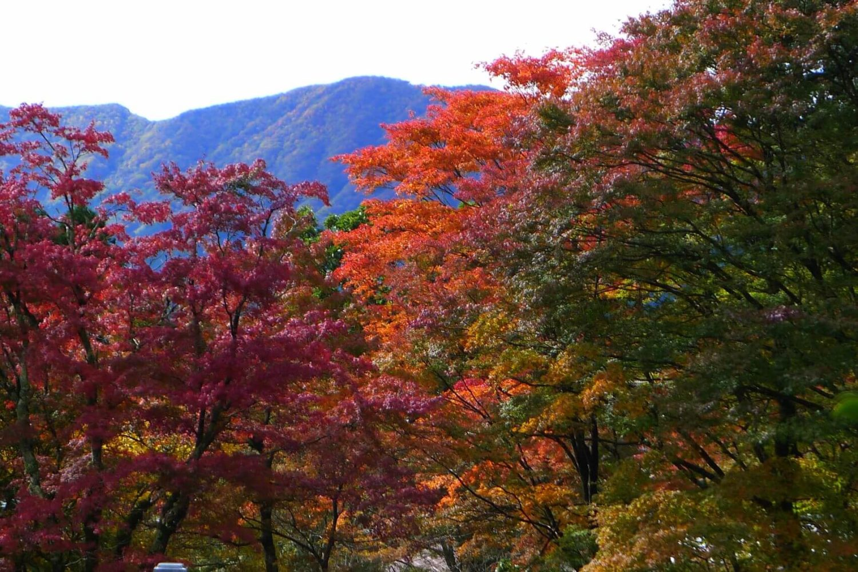Liście klonu Japonia