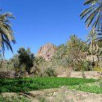 Palmy w oazie Fint, Południowe Maroko