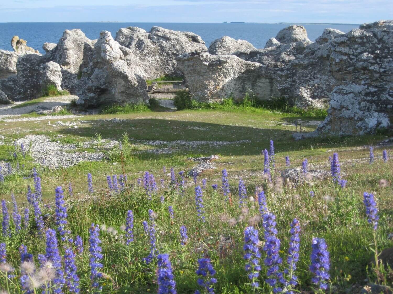Lawenda i skały na Gotlandii