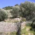 Gaje oliwne wokół bizantyjskiej drogi na Paros