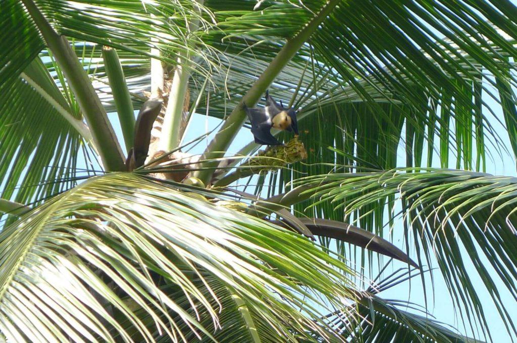 Nietoperze na palmie Mahe Seszele