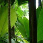 Zielone liście palmy, Seszele
