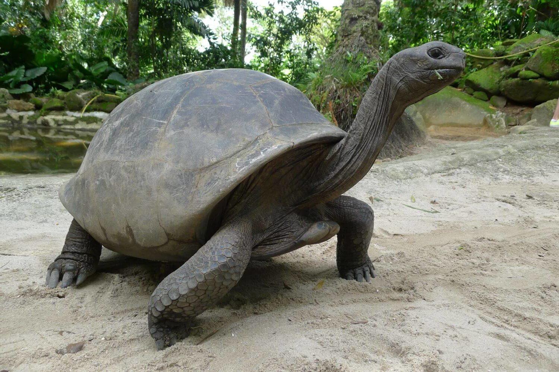 Żółw w Parku Botanicznym, Victoria Seszele